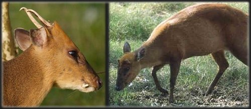 reeves-muntjac-deer